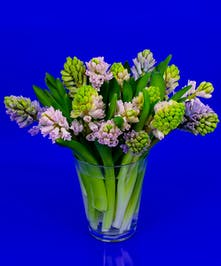 Our dutch Hyacinth vase is a collection of premium grade fragrant Hyacinth grown in Holland and placed in our Dutch Conner Vase.