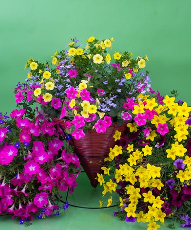Simply put, Currans grows amazing plants. With four greenhouses, we are able to offer a wide selection of our own locally grown mixed hanging baskets.