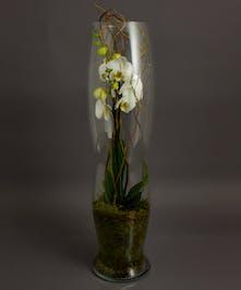 Phalaenopsis Plant Elegance Vase