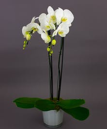 Our Grande Orchid is a beautiful phalaenopsis orchid in one of our imported dutch conical vases. Perfect for the home or office and for any occasion.