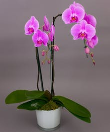 Our Pink/Purple Phalaenopsis Orchids are one of the best selling items year round.