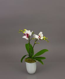 Our Belita Orchid is a beautiful phalaenopsis orchid in one of our imported dutch conical vases. Perfect for the home or office and for any occasion.