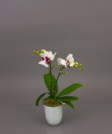 Belita Phalaenopsis Orchid Same Day Delivery Danvers Ma Currans