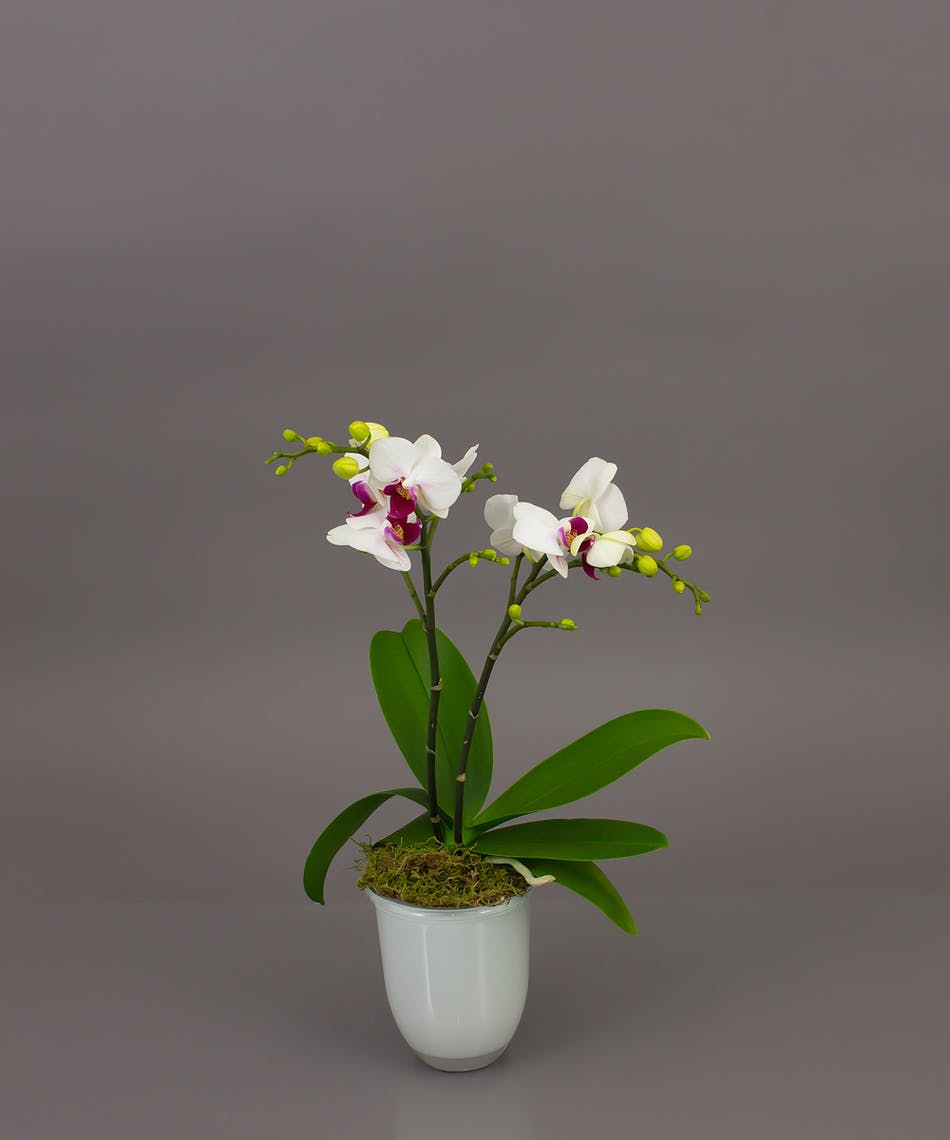 Belita phalaenopsis orchid same day delivery danvers ma our belita orchid is a beautiful phalaenopsis orchid in one of our imported dutch conical vases reviewsmspy