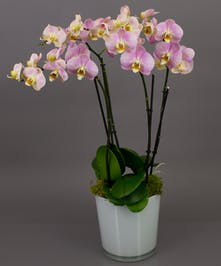 Our Bonita Orchid in Pink is a beautiful phalaenopsis orchid in one of our imported dutch conical vases. Perfect for the home or office and for any occasion.