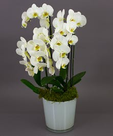 Our White Bonita Orchid is a beautiful phalaenopsis orchid in one of our imported dutch conical vases. Perfect for the home or office and for any occasion.