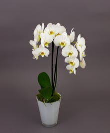 Our White Phalaenopsis Orchids are one of the best selling items year round.