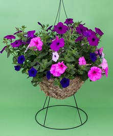 Hanging Petunia - Same Day Delivery, Danvers,MA