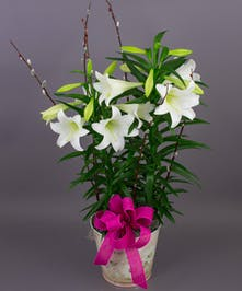 Currans Double Stemmed Easter Lily - Same Day Delivery, Danvers MA
