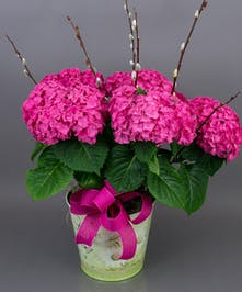 Currans Large Pink Hydrangea Plant - Same Day Delivery, Danvers MA