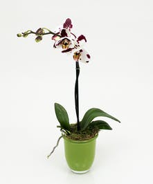 Petite Orchid Plant - Same Day Delivery, Danvers MA
