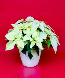 Enjoy our locally grown poinsettias for the entire holiday season!