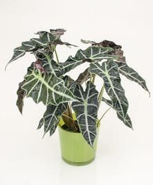 Alocasia Plant- Same Day Delivery, Danvers MA