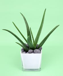 Aloe in compact cube - Same Day Delivery, Danvers MA