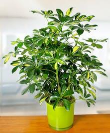 Arobricola Plant