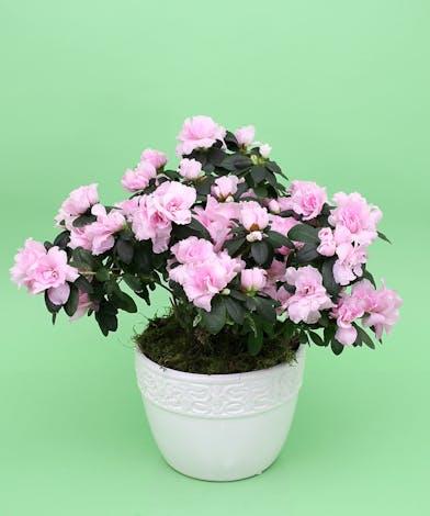 Azalea Plant