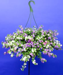 Hanging Bacopa - Same Day Delivery, Danvers,MA