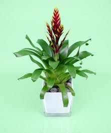 Bromeliad - Same Day Delivery, Danvers MA