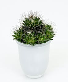 Birdsnest Cactus Plant - Same Day Delivery, Danvers MA