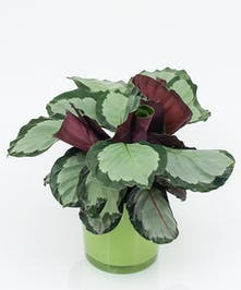 Calathea Plant- Same Day Delivery, Danvers MA
