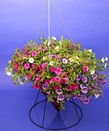 Calibrachoa Mix in Hanging Cone - Same Day Delivery, Danvers,MA