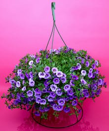 Hanging Calibrachoa - Same Day Delivery, Danvers,MA