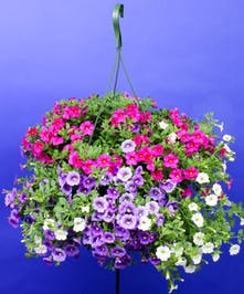 Hanging Calibrachoa Mix - Same Day Delivery, Danvers,MA