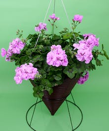 Hanging Double Flower Geranium Cone   - Same Day Delivery, Danvers,MA