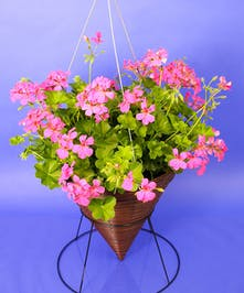 Hanging Multi Flower Geranium Cone   - Same Day Delivery, Danvers,MA