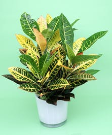 Croton Plant- Same Day Delivery, Danvers MA