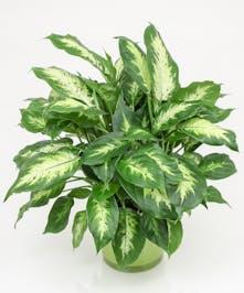 Dieffenbachia Plant - Danvers, MA