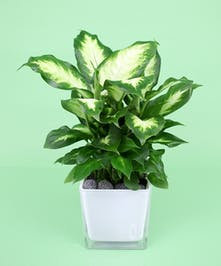 Dieffenbachia Plant - Same Day Delivery, Danvers MA