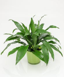 Dracena Plant- Same Day Delivery, Danvers MA