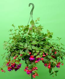 Fuchsia Hanging Basket - Same Day Delivery, Danvers,MA