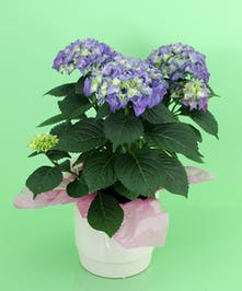 Currans Blue Hydrangea Plant - Same Day Delivery, Danvers MA