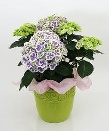 Currans Large Bicolor Hydrangea Plant - Same Day Delivery, Danvers MA