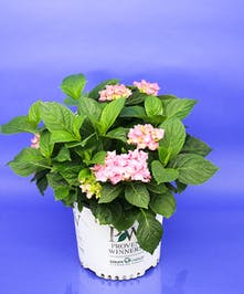 Pink Hydrangea Shrub - Same Day Delivery, Danvers, MA