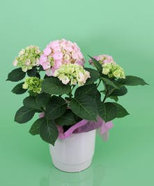 Currans Pink Hydrangea Plant - Same Day Delivery, Danvers MA