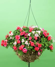 Hanging Mixed Impatien - Same Day Delivery, Danvers,MA