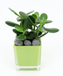 Jade Plant in Cube - Same Day Delivery, Danvers MA