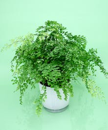 Maiden Hair Fern - Same Day Delivery, Danvers MA
