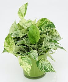 Marble Queen Pothos - Same Day Delivery, Danvers MA