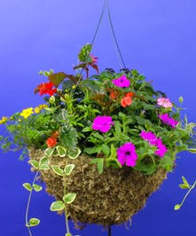 Currans Signature Mix Moss Hanging Basket- Same Day Delivery, Danvers,MA