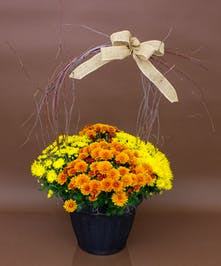 Bright Colored Mum Planter - Currans Flowers