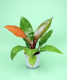 Prince of Orange Philodendron - Same Day Delivery, Danvers MA
