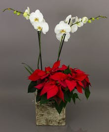 Our Rustic Winter Orchid Planter combines a beautiful phalaenopsis orchid along with a poinsettia in our popular birch themed container.