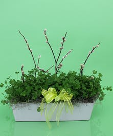 St. Patrick's Day Shamrock Planter in Ceramic  - Same Day Delivery Beverly, MA