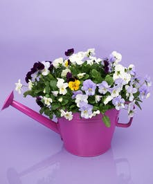 Pansy Watering Can - Same Day Delivery Danvers, MA