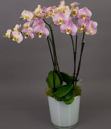 Pink/Purple Bonita Phalaenopsis Orchid in White
