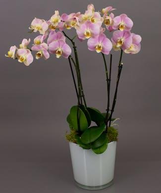 Pink/Purple Phalaenopsis Orchid Plant
